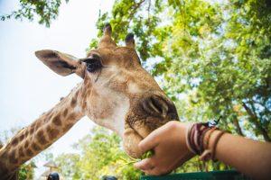 girafe qui mange dans la main d'une personne