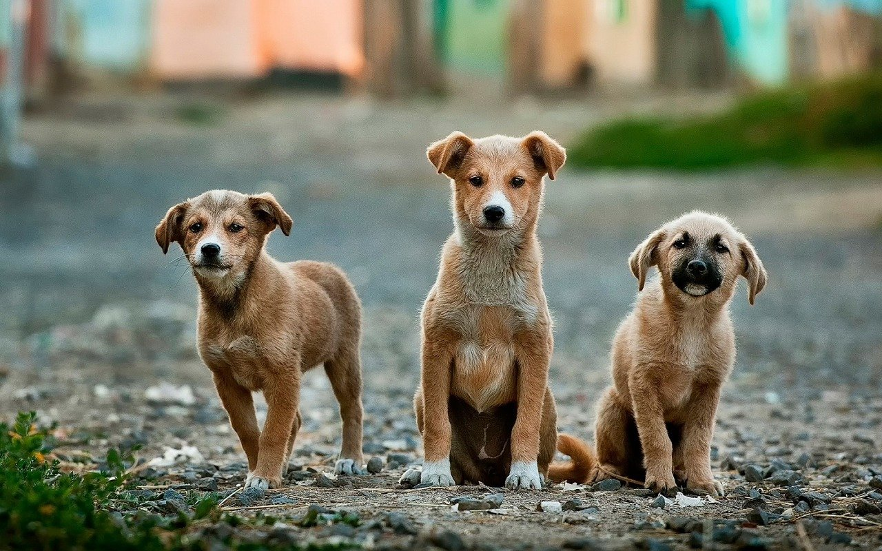 trois chiots assis sur un chemin
